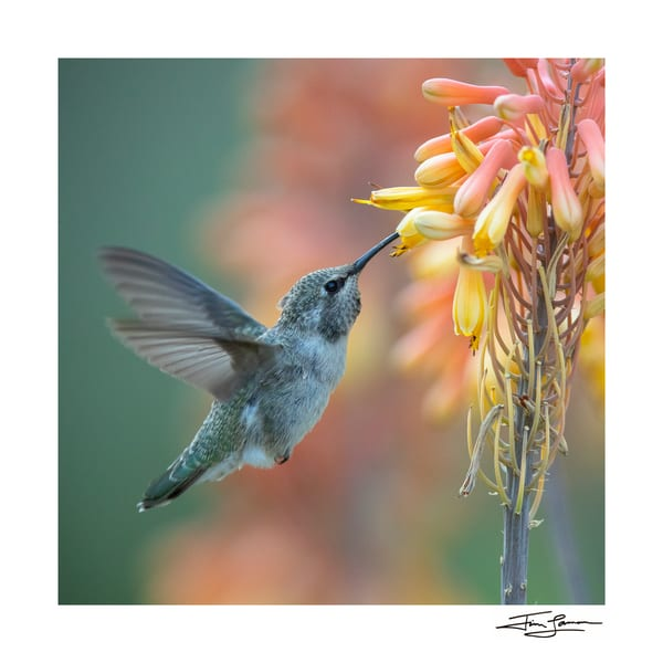 A hummingbird visits flowers at dawn.