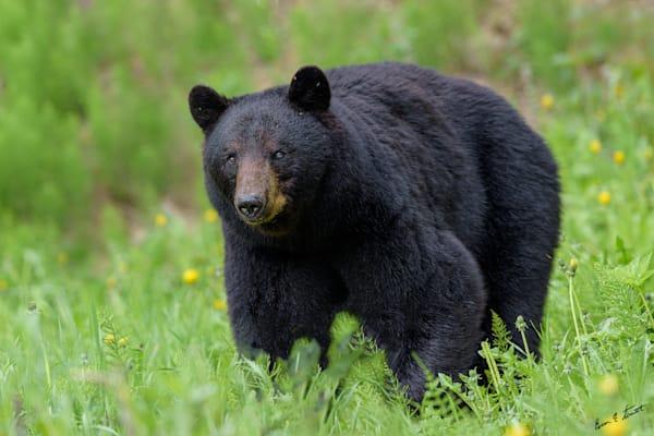 Black Bear Portrait Art   Alaska Wild Bear Photography