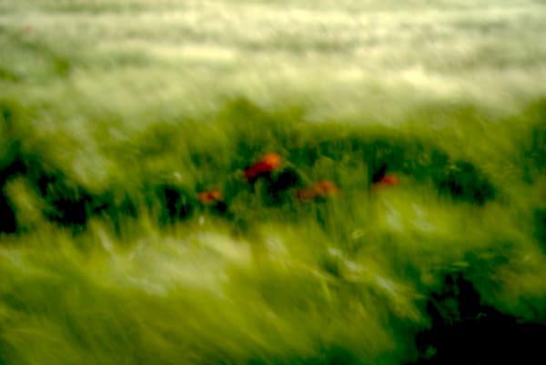 Poppies in Wheat Field, 35mm photograph, France, 2016. #www.NorlynneCoarFineArt.com #artwork #timeless #contemporaryphotography #France #poppiesandwheat