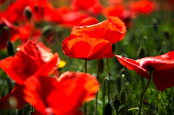 Poppy Petal Shadows Art   Norlynne Coar Fine Art