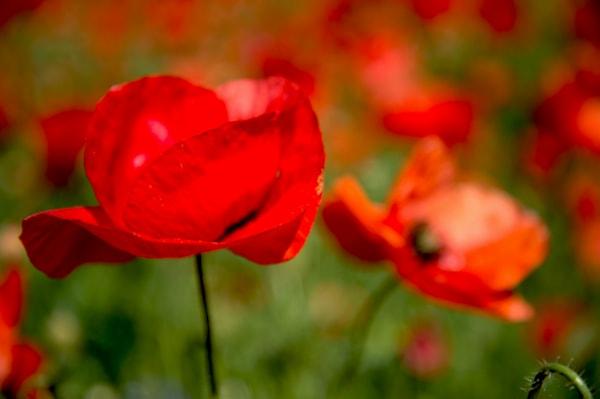 Poppies  Art   Norlynne Coar Fine Art