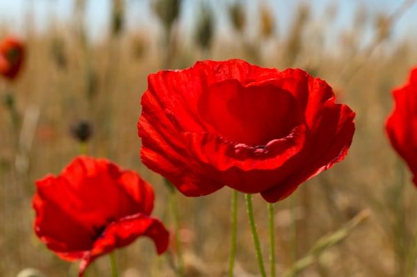 Poppies And Summer Wheat  Art   Norlynne Coar Fine Art