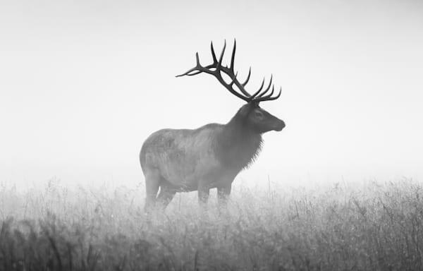 A Striking B&W Print Of A Bull Elk