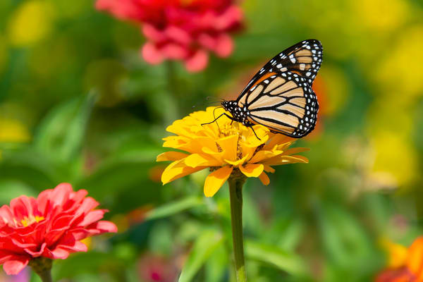 Monarch Butterfly on zinnia at Highland Park