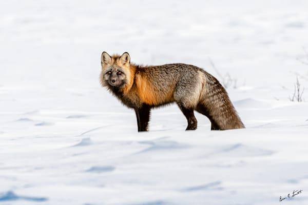 Cross Fox In The Snow Art   Alaska Wild Bear Photography