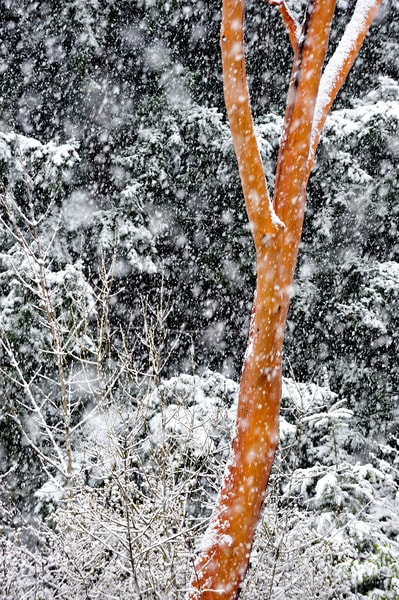 Snowy Madrone