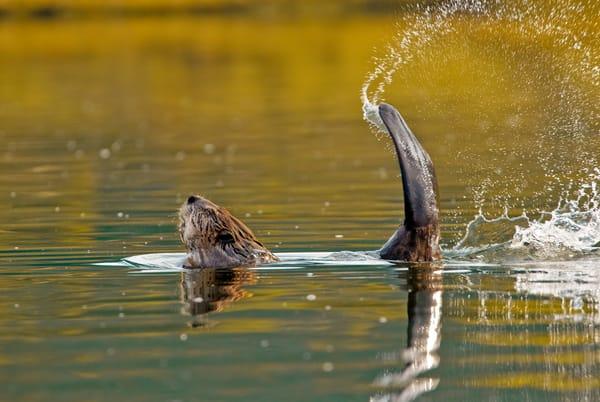 Beaver warning.