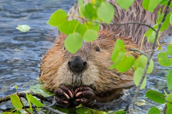 Beaver eating aspen.