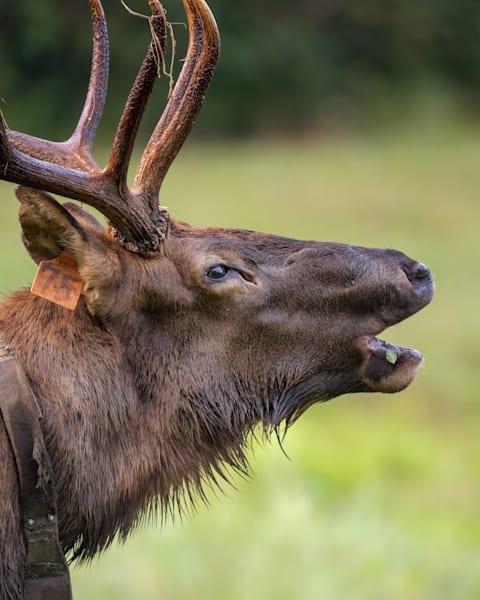 Closeup Of Bull Elk Bugling Photography Art   Cuda Nature Art