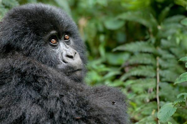 Cutest baby mountain gorilla in a fine art color print.