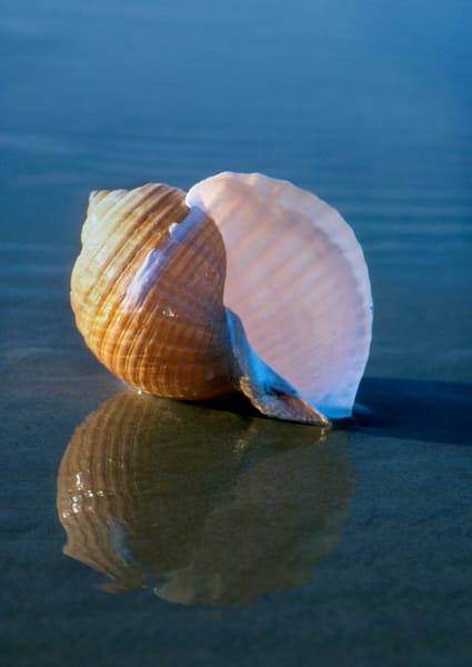 Tun Sea Shell by Ruth Burke Art