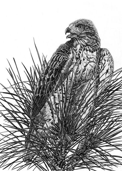 """""""Top Of The Pine""""   Red Tailed Hawk   Cva 392 1001 Art 