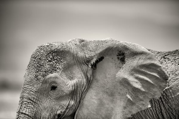 terrific profile of an elephant in black and white