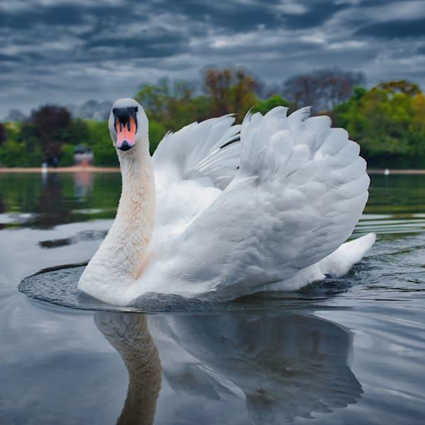 Swan Pond Art   Martin Geddes Photography