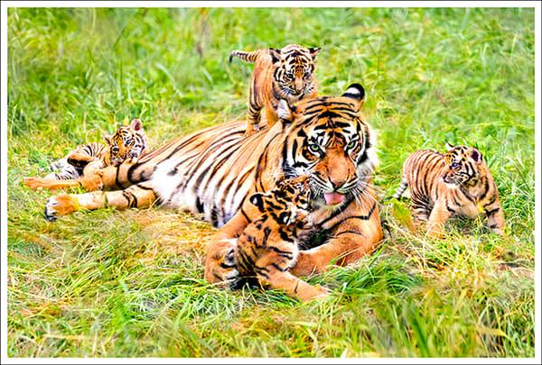 New Tiger Family Photography Art | Cheng Yan Studio