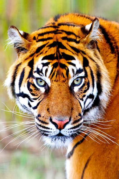 The Tiger Photography Art | Cheng Yan Studio