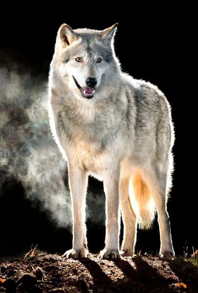 Morning Wolf Photography Art | Cheng Yan Studio