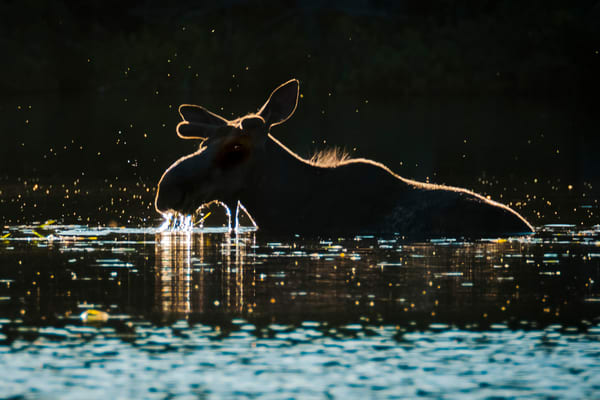Glowing Bull Photography Art | Monteux Gallery