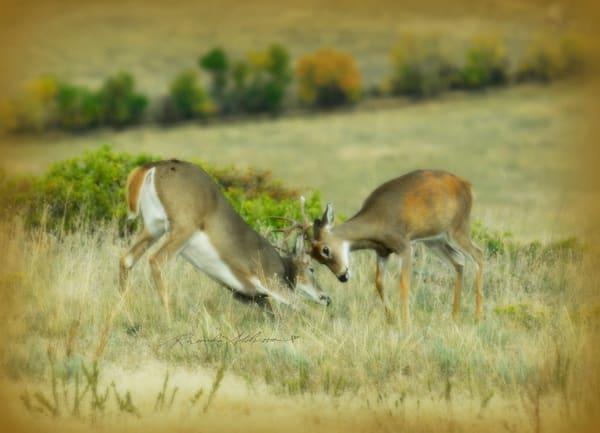 Bucks Rutting Photography