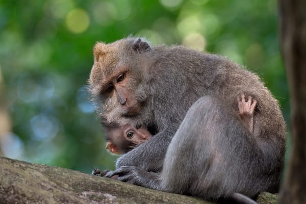 Cute macaque and baby nestled together in Bali.