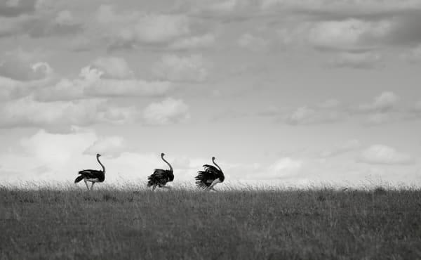 Cute ostriches walking in Kenya fine art print