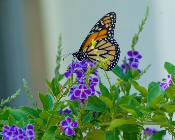 Butterfly On Blue Flower Photography Art   It's Your World - Enjoy!