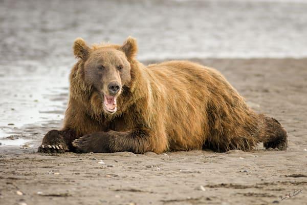 Lazy Day On The Beach Art   Alaska Wild Bear Photography