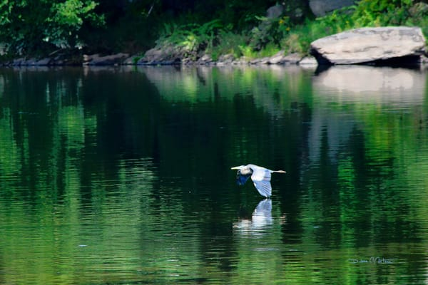 Blue Heron flying low across the Big Eddy of the Delaware River - Narrowsburg, NY