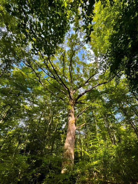 Mother Oak of Shope Creek