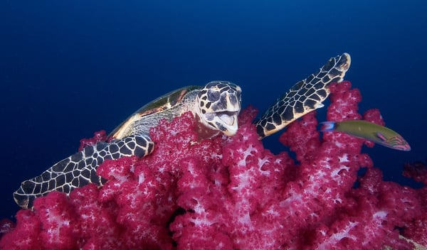 Hilarious underwater image of a turtle playing on the reef.