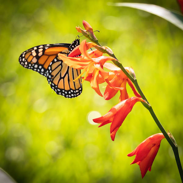 Wannabe Naturalist Monarch Butterfly on Red Flower   Eugene L Brill