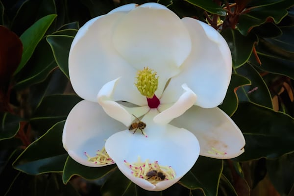 Wannabe Naturalist bees on a Magnolia flower   Eugene L Brill