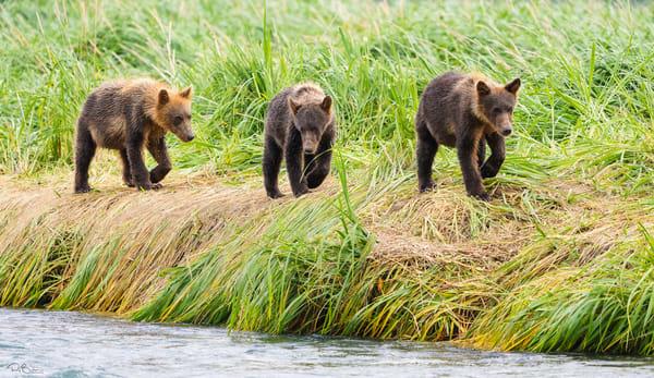 Brown Bear cubs walking on river bank.