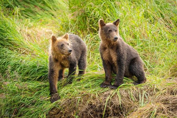 Brown Bear cubs watching mother.