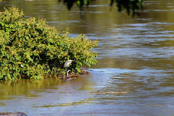 Blue Heron on Island Delaware River