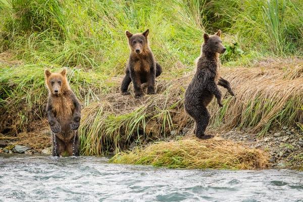 Three brown bear cubs.