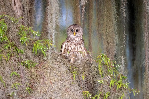 Barred Owl With Spanish Moss F0 A4009 Blue Lake Cypress Fl Usa Photography Art | Clemens Vanderwerf Photography