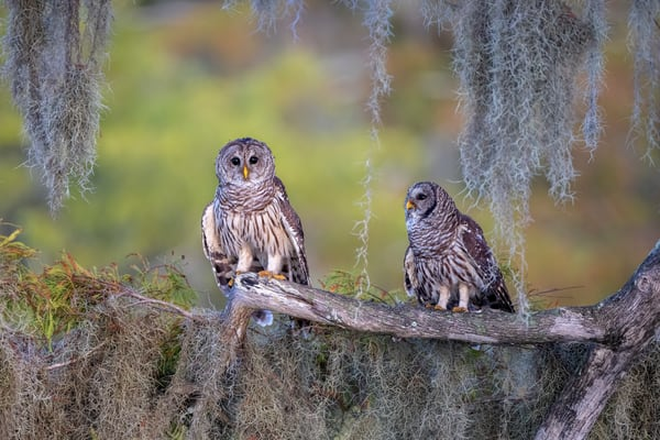 Barred Owls On Branch With Soft Background F0 A3969 Blue Lake Cypress Fl Usa Photography Art | Clemens Vanderwerf Photography