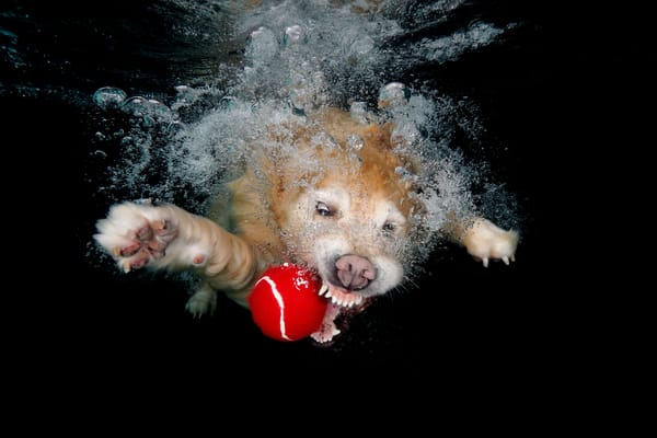 Golden Retriever With Red Ball Underwater 83 A5407 Photography Art | Clemens Vanderwerf Photography