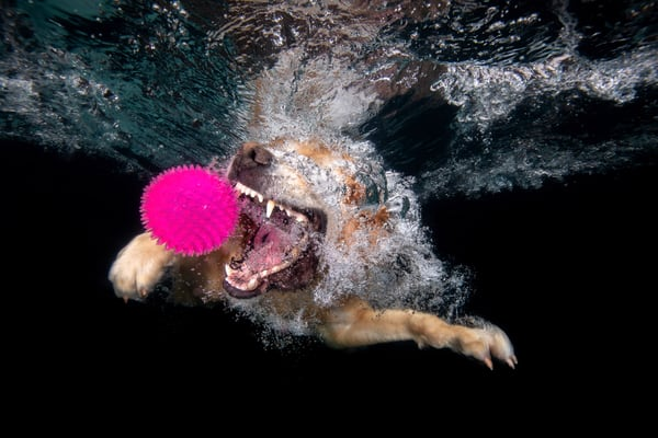 Ozzy Going For The Purple Ball Underwater 83 A9737 Dover Fl Usa Photography Art   Clemens Vanderwerf Photography