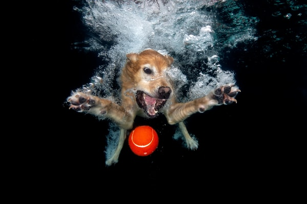 Toby Underwater With Red Ball 83 A9396 Dover Fl Usa Photography Art   Clemens Vanderwerf Photography