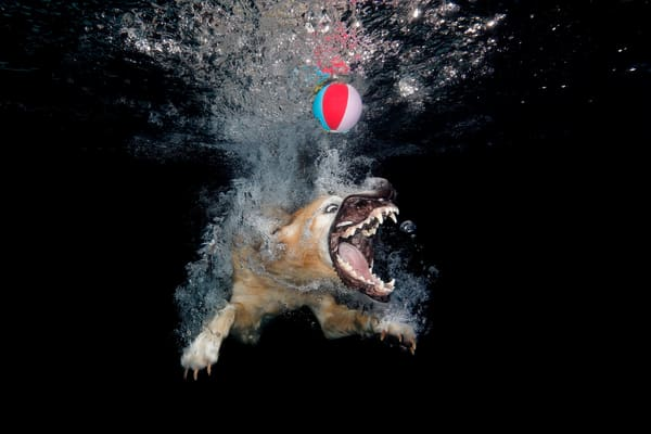 Golden Retriever With Beach Ball And Mouth Open 83 A5165 Photography Art | Clemens Vanderwerf Photography