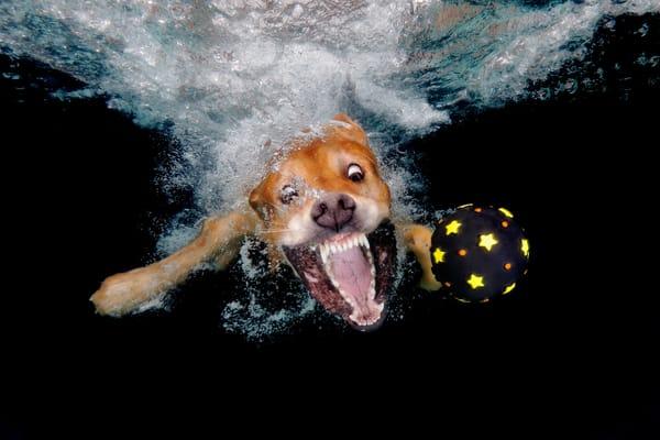 Golden Retriever Chasing After Black Ball Underwater 83 A4627 Photography Art | Clemens Vanderwerf Photography