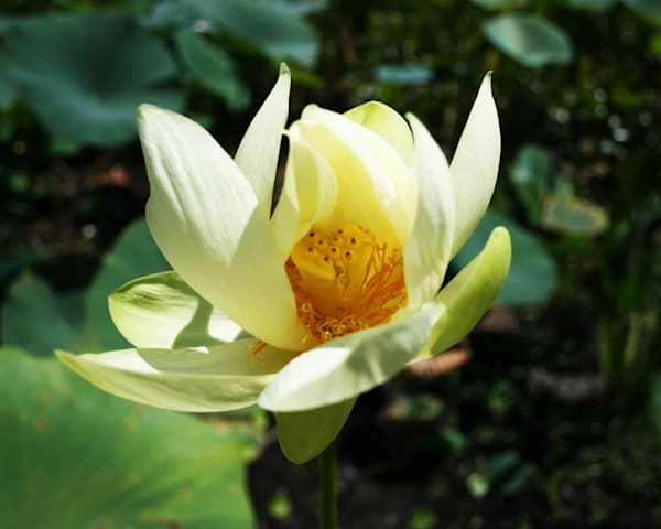 Heart Of Lotus Photography Art   It's Your World - Enjoy!