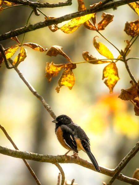 An Eastern Towhee In Autumn Foliage Print