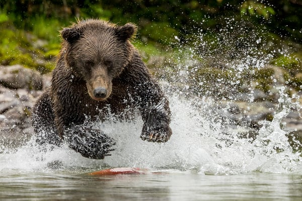 Alaska Brown Bear jumps and splashes as it fishes for Sockeye (Red) salmon on shore of Crescent Lake in Lake Clark National Park. Summer Southcentral, Alaska  Photo by Jeff Schultz/  (C) 2021  ALL RIGHTS RESERVED