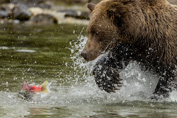 An Alaska Brown Bear fishes for Sockeye (Red) salmon on shore of Crescent Lake in Lake Clark National Park. Summer Southcentral, Alaska  Photo by Jeff Schultz/  (C) 2021  ALL RIGHTS RESERVED