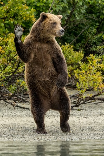 Alaska Brown Bear waves on shore of Crescent Lake in Lake Clark National Park. Summer Southcentral, Alaska  Photo by Jeff Schultz/  (C) 2021  ALL RIGHTS RESERVED