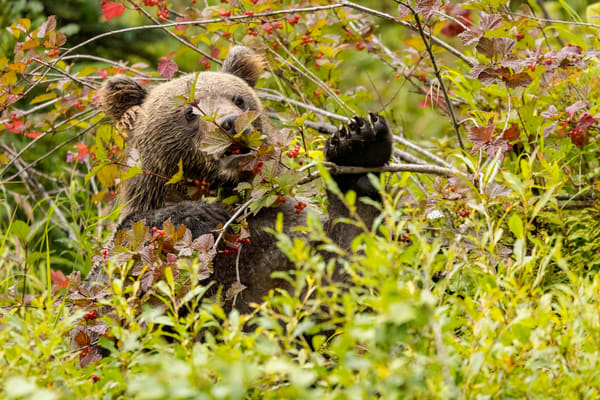 An Alaska Brown Bear eats high-bush cranberries on shore of Crescent Lake in Lake Clark National Park. Summer Southcentral, Alaska  Photo by Jeff Schultz/  (C) 2021  ALL RIGHTS RESERVED