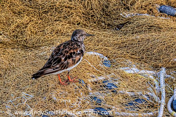 Ruddy Turnstone on Fishing Net